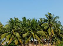 Row of Palm Trees with Clear Sky Royalty Free Stock Photos