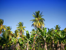 A row of palm trees. Landscape in a sunny day Stock Image