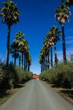 Driveway lined by palm trees. A row of palm trees lining a driveway in Sonoma County California Stock Image