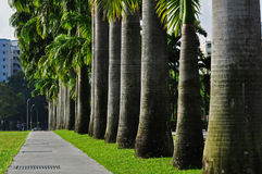 Row of palm trees in the park Royalty Free Stock Photo