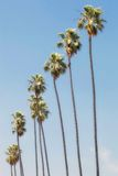 Row Of Palm Trees Stock Image