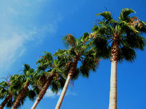 Row of Palms. Row of Palm trees against blue sky, room for copy stock photo