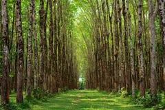 Para rubber tree plantation Royalty Free Stock Image