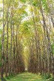 Para rubber tree plantation Royalty Free Stock Photos