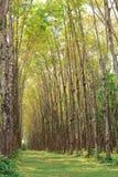 Para rubber tree plantation Stock Images