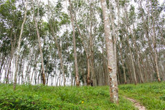 Row of  para rubber tree in agriculture farm Royalty Free Stock Photos