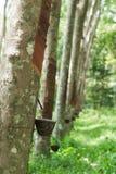 Row of para rubber tree Royalty Free Stock Photo