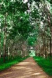 Row of para rubber tree Royalty Free Stock Image