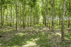 Row of para rubber tree Royalty Free Stock Image