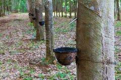 Row of para rubber tree Stock Image