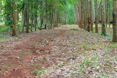 Row of para rubber tree Royalty Free Stock Photography