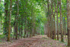 Row of para rubber tree Stock Images