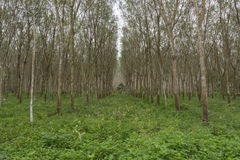 Row of para rubber trees Stock Photography