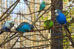 Row of Parakeets Stock Image