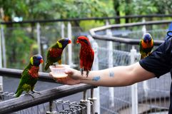 Row of Parrots on Human Hand Stock Photos