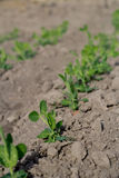 Row of pea plants. On a hungarian farm Royalty Free Stock Images