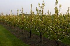 Row of pear trees Royalty Free Stock Photo