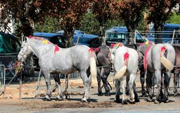 A row of Percheron horses tied up and waiting to be shown stock photo