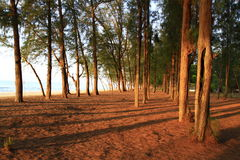 Row of Pie Tree at Dawn. The shadow of pie tree laid through ground taken at Hat wanakorn National Park, Prachaup Kirikhan, southern province of Thailand in May Stock Photography