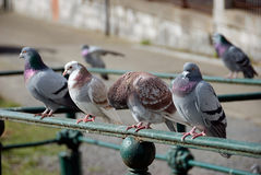 Row of pigeons. Perching on railings royalty free stock photography