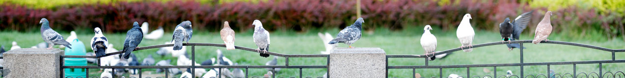 A row of pigeons Royalty Free Stock Photography
