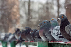 A row of pigeons. Royalty Free Stock Images