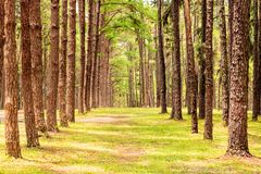 Row of pine trees. Forest stock photography
