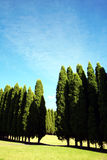 Row of pine trees. Row of tall pine trees stock image