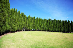 Row of pine trees Royalty Free Stock Images