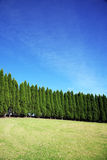 Row of pine trees Royalty Free Stock Photo