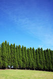 Row of pine trees. Row of tall pine trees royalty free stock photo