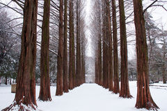 Row of pine trees Royalty Free Stock Photos