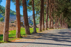 Row of pine trees Royalty Free Stock Photography
