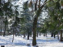 Row of Pine Trees amidst snow laden grounds. Pine trees and snow covered grounds in the  afternoon after heavy snowfall. Puteaux forests, Paris region - France Stock Photography