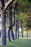 A row of trees in the park. A row of pine trees in the forest Stock Photo