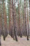 A row of pine trees in the forest. Smooth trees in a pine forest stock photos