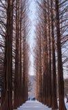 Row of pine trees at Nami island, Korea Stock Photography
