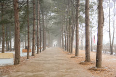 Row of pine trees in winter of Nami island royalty free stock image