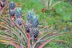 A row of pineapple growing in a plantation Stock Image