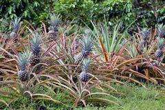 A row of pineapples growing in a plantation Stock Images