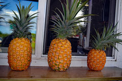 Row of pineapples on a window sill. Three ripe hawaiian pineapples in a row on a window sill Royalty Free Stock Images