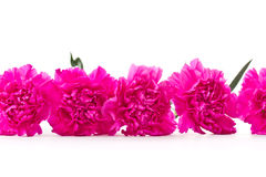 A row of pink carnation Royalty Free Stock Image