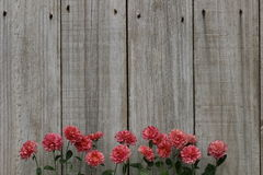 Row of pink mums border wood fence