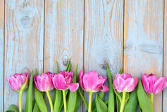 Row of pink tulips on a blue grey knotted old wooden background with empty space layout Stock Photo