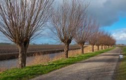 Row of pollard willows Royalty Free Stock Images