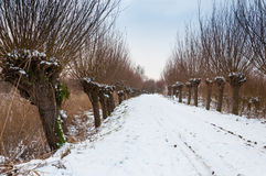 Row of pollard willows in a snowy area. Snowy path between rows of pollard willows  in a Dutch nature reserve Stock Photography