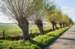 Row of pollard willows in a street Stock Photos