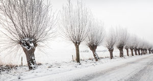 Row pollard willows in a street. Winter in a Dutch street covered with snow with a row of pollard willows with hoarfrost next to it Royalty Free Stock Photos
