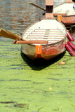 Row on Pollution. A frontal view of orange rowing boats tied up, with wooden ores sticking out and red fenders tied to the side, floating on green algae-covered royalty free stock image