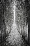 In a row poplar trees Stock Images